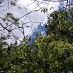 Fledermäuse im Sonnenschein im Royal Botanic Garden.
