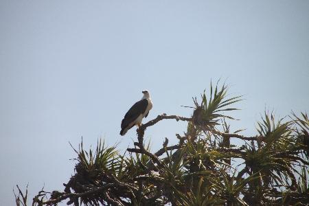 Ebenfalls von Jan, ein großer Vogel. Ich will behaupten, es sei ein Weißkopfseeadler, aber den gibt es nur in Nordamerika.