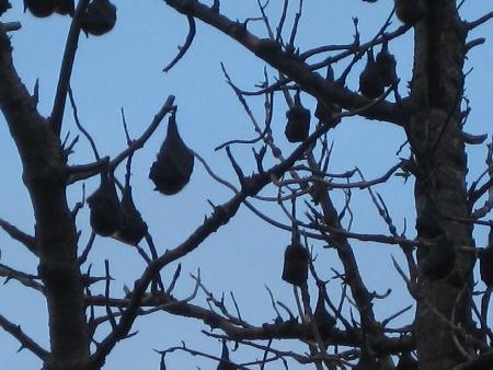 Zum Abschluss der Familienreise, wieder im Botanischen Garten im Sydney, von Lotte aufgenommene schlafende Flughunde, im Englisch Megabat oder Fruit Bat genannt.