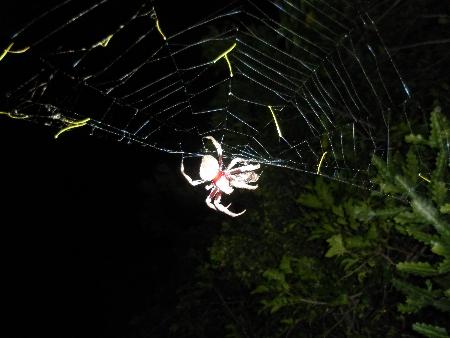 Spinne, fotografiert in Bundaberg. Keine Ahnung, was für eine Spinne. Wahrscheinlich giftig. Hat mich aber nicht gebissen, bin mir also nicht sicher.