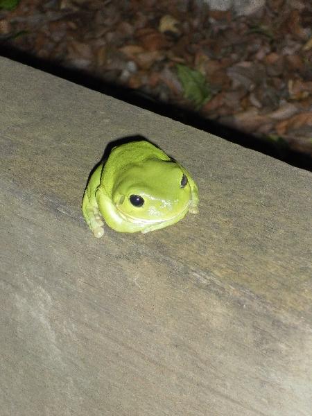 Grüner Frosch in Bundaberg. Gibt dort Unmengen davor. Nicht giftig. Sehr beliebt bei deutschen Rucksacktouristinnen. Warum auch immer.