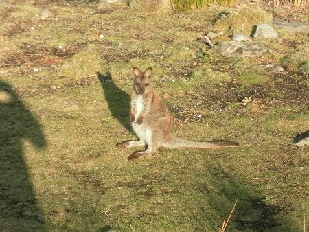 Ein Wallaby aus nächster Nähe. Nette, kleine Kängurus. Um welche Sorte genau es sich allerdings handelt, weiß ich nicht.
