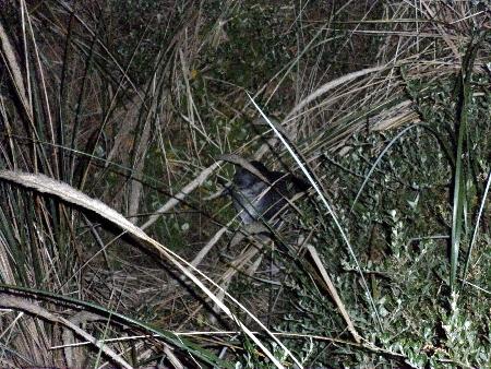 Ein Zwergpinguin, hier in Australien auch als Fairy Penguin bekannt. Diese kommen nachts auf den Strand von Bruny Island, deswegen auch die schlechte Belichtung.