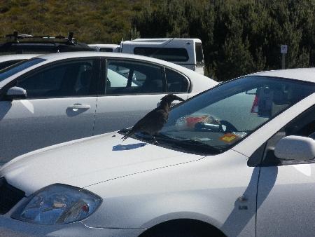 Keine Ahnung, um was für einen Vogel es sich hier handelt. Habe das Bild im Cradle Mountain National Park nur gemacht, weil wir vorher darauf hin gewiesen wurden, die Vögel nicht zu füttern und am Besten gar nicht in ihrer Gegenwart zu essen. Die Frau im Auto hat das wohl nicht gehört.