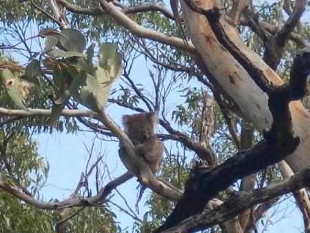 Bei der Reise mit meiner Schwester habe ich dann auch endlich Koalas gesehen. Hier an der Great Ocean Road, direkt über/neben der Straße.