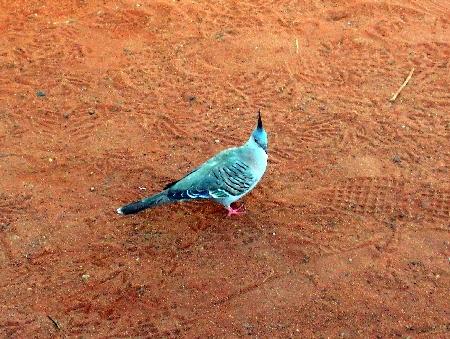 """Ich habe keine Ahnung, was für ein Vogel das ist, aber ich habe sie """"Irokesen-Tauben"""" getauft."""