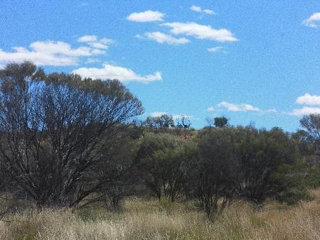 Emus. Etwas schwer auszumachen, aber sie verschwinden gerade über den Hügel.