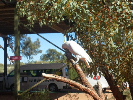 Ein typischer Cockatoo, um genau zu sein ein Gelbhaubenkakadu, irgendwo im Red Centre auf dem Weg nach Alice Springs.