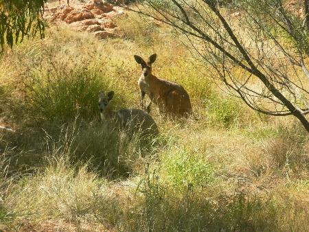 Kängurus in Alice Springs. Wahrscheinlich auch ein altes Bild. Ich behaupte nämlich, dies seien Big Reds, also Rote Riesenkängurus, die größten aller Kängurus und damit besonders erstrebenswert zu sehen.