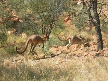 Und die gleichen Kängurus noch mal in Bewegung. Ich finde, vor allem das hintere sieht sehr groß und rot aus.