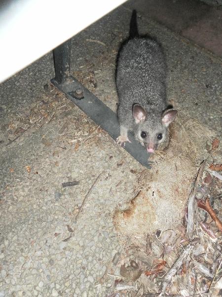 Ein Possum unter einer Bank in Darwin. Wer sich für so etwas interessiert, sollte mal den deutschen Wikipedia Artikel dazu anschauen, vielleicht kann er mir dann auch sagen, um welche der 160 Variaten es sich hier handelt.