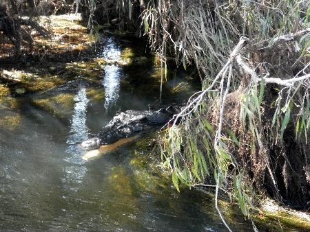 """Ein """"Freshie"""", Freshwater Crocodile, im Deutschen Australienkrokodil genannt. Für den Menschen relativ ungefährlich, liegt es hier faul in der Flußbiege und lässt sich die Fische ins Maul treiben."""
