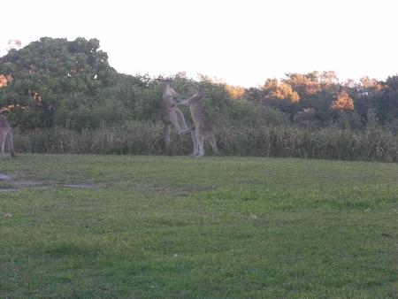 Ebenfalls auf NSI: kämpfende Kängurus. Es handelt sich um junge Eastern Greys, Östliche Graue Riesenkängurus. Davon habe ich inzwischen wohl hunderte gesehen, aber diese Vorstellung war doch etwas ganz besonderes.