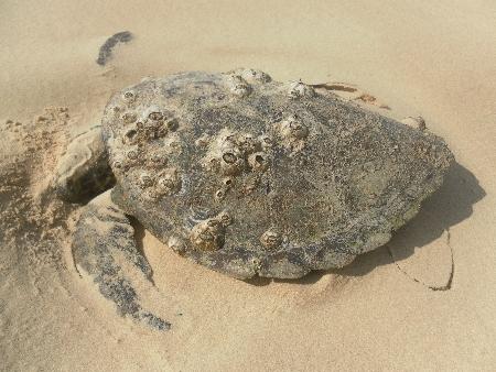 Diese leider tote Schildkröte haben Tamsin und ich in Rainbow Beach gefunden. Hoffen wir mal, dass sie eines natürlichen Todes gestorben ist.
