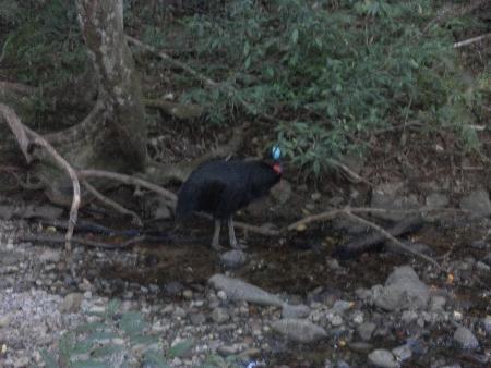 Hierbei handelt es sich um einen Cassowary oder Kasuar, einen sehr ungewöhnlichen und seltenen Laufvogel.